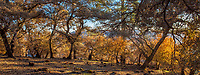 Burned Oak woodland, backlist as if fall color; California native landscape panorama, recovery after 2017 Sonoma Tubbs fires, Pepperwood Preserve
