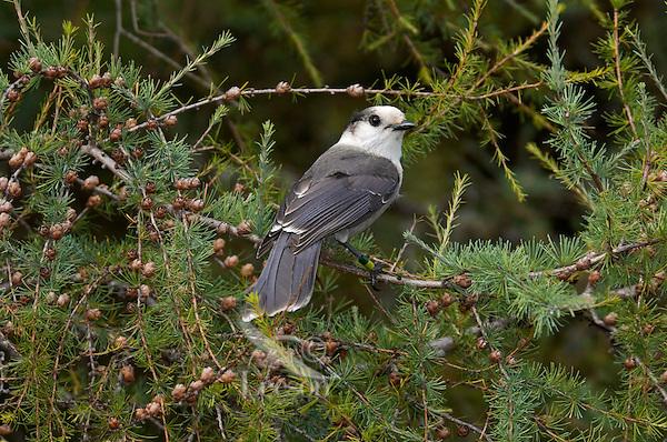 Gray Jay (Perisoreus canadensis) in tamarack tree, late September, Algonquin Provincial Park, northern Ontario, Canada.