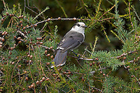 Gray Jay (Perisoreus canadensis) in tamarack tree, late September, Algonquin Provincial Park, northern Ontario, Canada.
