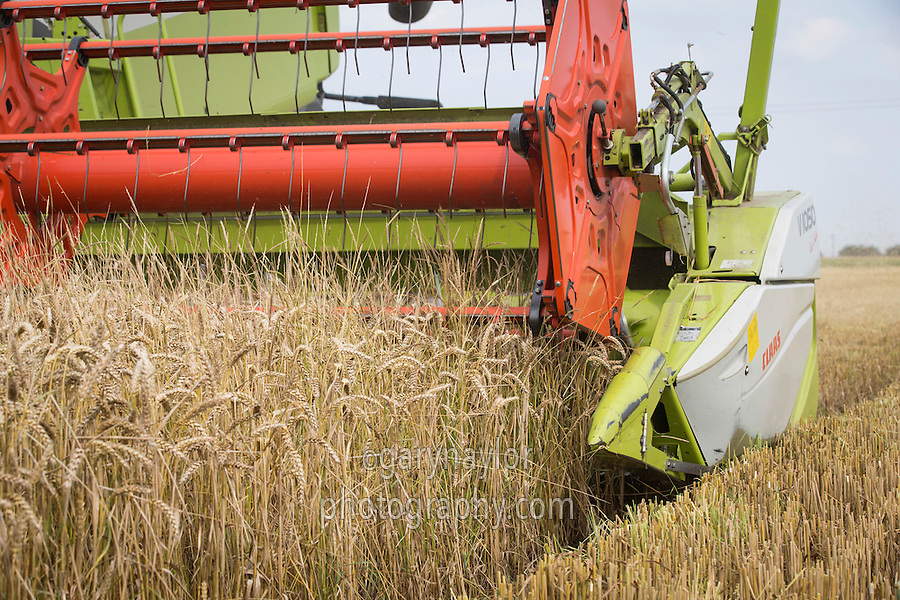 Harvesting winter wheat with infestation of black grass