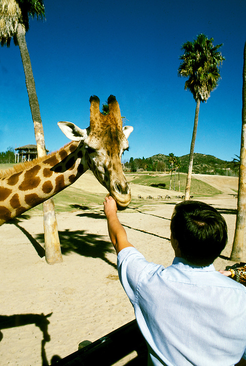 California: San Diego Wild Animal Park, Giraffe, giraffa camelopardalis.  Photo  casdno105.Photo copyright Lee Foster, 510/549-2202, lee@fostertravel.com, www.fostertravel.com.