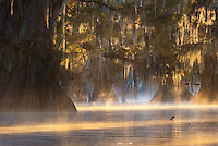 Light beams burst through a grove of bald cypress, illuminating the Spanish moss and misty waters below.