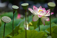 The Lotus Flowers in Echo Park, Calif. are known to have been in bloom since 1928 according to various newspaper articles from 1928. Blooming every year in the summer the aquatic flowers inspired the annual Lotus Festival.  The flower is sacred to millions around the world to Hindus, Buddhists of Tibet, China and India . ©Anacleto Rapping