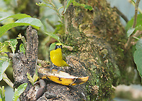 Female thick-billed euphonia, Euphonia laniirostris, perched on a banana peel. Tandayapa Valley, Ecuador