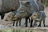 650520083 wild adult and juvenile or young javelinas also known as collared peccaries dicolytes tajacu drink at a small waterhole in the rio grande valley of south texas