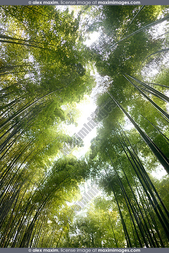 Arashiyama bamboo forest tree tops glowing in bright sunlight, artistic low angle view scenery, Kyoto, Japan. Image © MaximImages, License at https://www.maximimages.com