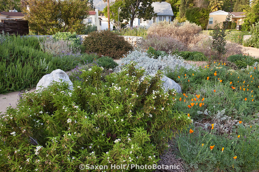 Southern California front yard lawn substitute groundcovers in drought tolerant native plant garden with Fernbush or Desert Sweet (Chamaebatiaria millefolium) and poppies