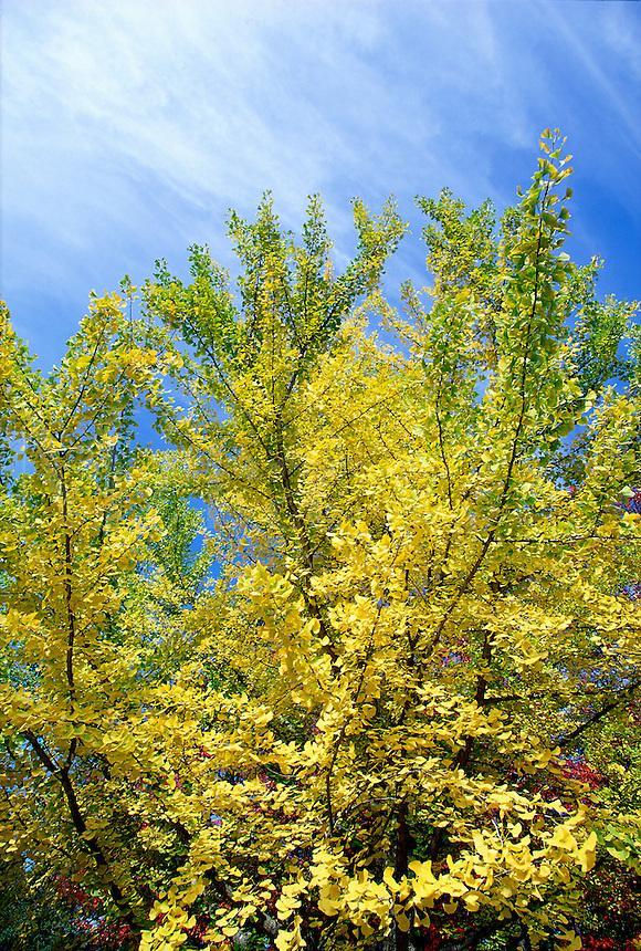 Ginkgo Tree Ginkgo biloba, blazing yellow autumn color, blue sky #5707. Virginia.