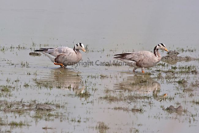 Kaziranga, India. Bar-headed geese walking on grass in the water