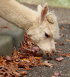 """""""Iggy"""" the Alpaca taking a snack from leaves outside it's pen at Holtsville Park in Holtsville in November, 2007. Photo by Jim Peppler. Copyright Jim Peppler/2007."""