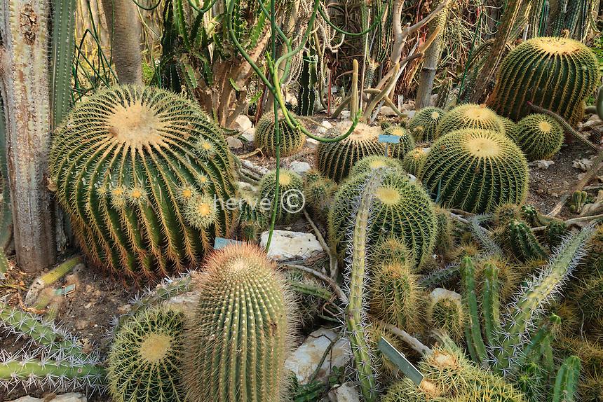 France, Alpes-Maritimes (06), Saint-Jean-Cap-Ferrat, le jardin botanique des C&egrave;dres:<br /> dans une serre, Echinocactus grusonii et autres cactus // France, Alpes-Maritimes, Saint-Jean-Cap-Ferrat, the botanical garden les C&egrave;dres (Cedars): in a greenhouse, Echinocactus grusonii  and other cactus