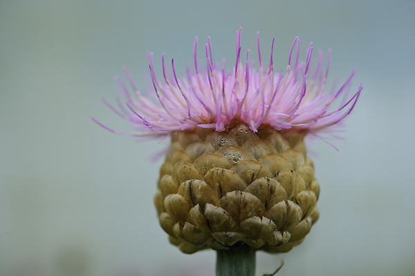 Centaurea pulchra ' Major '