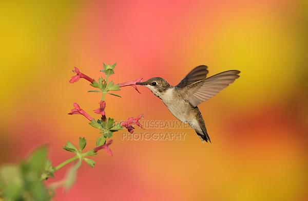 Ruby-throated Hummingbird (Archilochus colubris), female feeding on Scarlet Betony (Stachys coccinea) , Hill Country, Central Texas, USA