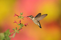 Ruby-throated Hummingbird (Archilochus colubris), female feeding on Scarlet Betony (Stachys coccinea) , Hill Country, Central Texas, USA