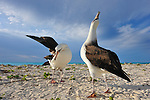 Two laysan albatross courtship dance and display, lifting wing and fling back head graying or singing out.