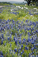 Wildflowers such as the Blue Bonnets and White Prickly Poopy  line the roadsides in the Texas Hill Country near Fredericksburg Texas.