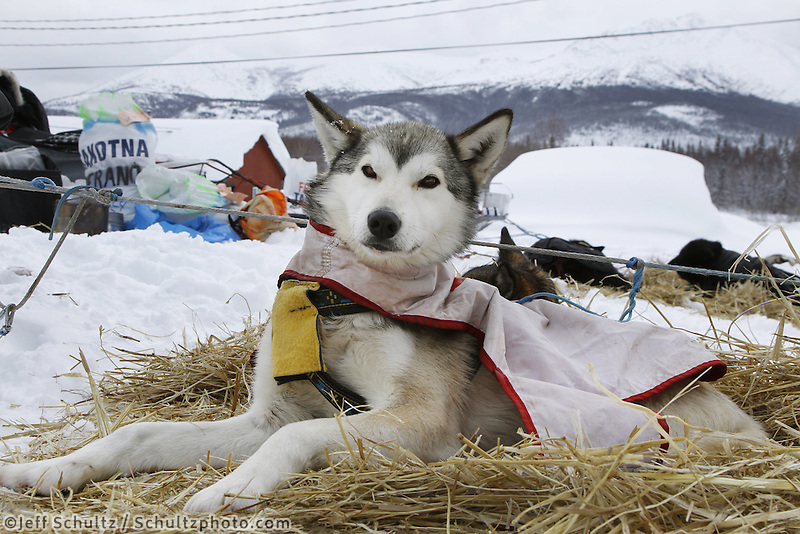 "Wednesday March 7, 2012  ""Moxie"", one of Ryne Olson 's dogs rests at the Takotna checkpoint Iditarod 2012."