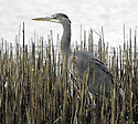 Great Blue Heron bird among reeds at a pond. Stock photography from Olympic Photo Group