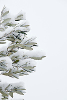 Olive tree detail in the snow, Spoleto Valley, Umbria, Italy