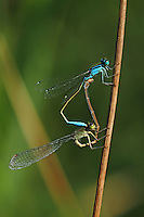 Große Pechlibelle, Paarungsrad, Paarung, Kopulation, Kopula, Pech-Libelle, Ischnura elegans, common ischnura, blue-tailed damselfly, Common Bluetail, pairing, copulation, Agrion élégant