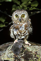 OW04-004f  Saw-whet owl - with shrew prey - Aegolius acadicus