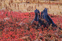 Stumps are one of the few leftovers from the former forest that once cover Kingston Plains next to Pictured Rocks National Lakeshore in Alger County, Michigan.  The forest was clear cut in the 1930's and then the slash was burned and the soil is just starting to recover in the early 2000's.  Shrubs are staring to dominate the ground where lichens, mosses and wild blueberry have dominated much of the last eighty years.