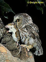 OW03-093z  Saw-whet owl - with mouse prey - Aegolius acadicus
