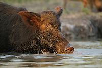 Feral Pig (Sus scrofa), boar drinking from pond, Fennessey Ranch, Refugio, Corpus Christi, Coastal Bend, Texas Coast, USA
