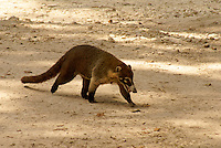 Coatimundi at the Maya ruins of Tikal, El Peten, Guatemala. Tikal is a UNESCO World Heritage Site....
