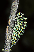 LE32-009d  Butterfly - Eastern Black Swallowtail caterpillar - Papilio polyxenes