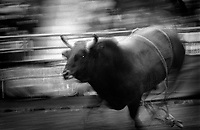 Black & white image of a rodeo - bull runs after bucking the rider. Black & White. United States Rodeo.