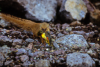 Small Indian Mongoose, (Herpestes auropunctatus) Introduced from India, a  predator on native birds.