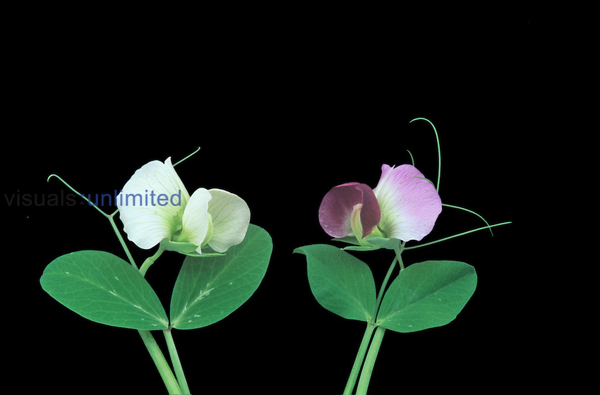 White and red Pea flowers. Flower color was a trait studied by Gregor Mendel.