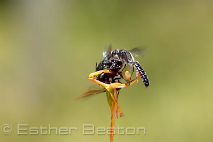 Warty Hammer Orchid (Drakaea livida) being mated by two male Thynnid wasps (Zapilothynnus nigripes) near Yallingup, Margaret River area of Western Australia.