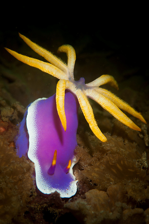 Nudibranch : Giant hypselodoris: Hypselodoris apolegma : bright purple with very large cerata, Komodo National Park
