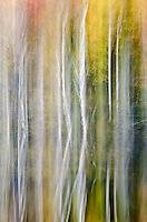Fall color and Birch tree trunks are abstracted in the waters of , Hiawatha National Forest, Alger County, Michigan