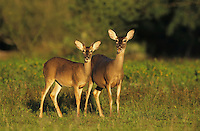 White-tailed Deer, Odocoileus virginianus, pair, Willacy County, Rio Grande Valley, Texas, USA, May 2004