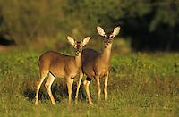 White-tailed Deer, Odocoileus virginianus, pair, Willacy County, Rio Grande Valley, Texas, USA, May 2004