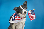 Border Collie with Flag