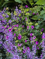 Purple flowering Geranium x procurrens 'Ann Folkard' in perennial border with Salvia; Gary Ratway garden