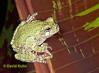 "0917-07oo  Gray Tree Frog - Hyla versicolor ""Virginia"" © David Kuhn/Dwight Kuhn Photography"