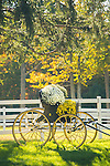 65 Parket Hill Road, Pattaconk Farm, CT. Horse buggy with chrysanthemums.