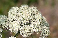 Wiesen-Bärenklau, Wiesenbärenklau, Gemeiner Bärenklau, Blüte, Blütendolde, Heracleum sphondylium, common hogweed