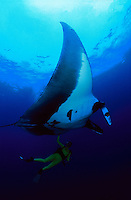 """This manta ray, Manta birostris, dwarfs the diver (MR) underneath. An angelfish is visible beside it's cephalic fin. These angelfish act as cleaners and leave the reef to search the mantas for parasites. Photographed at a dive site called """"The Boiler"""" off the Revillagigedos Islands. Mexico."""