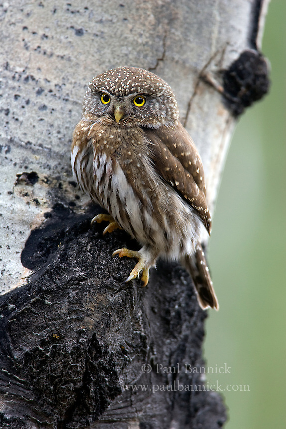 A Northern Pygmy-Owl; Glaucidium gnoma, hunts from a Quaking Aspen bole in Yakima County, Washington.