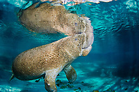 A manatee's snout just breaks the surface for a breath. Endangered Florida Manatee, Trichechus manatus latirostris, at Three Sisters Spring in Crystal River, Florida, USA. The Florida Manatee is a subspecies of the West Indian Manatee.