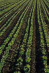 Agricultural crop plants in rows at sunrise along Refugio Road, near Santa Ynez, Santa Barbara County, California