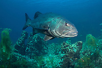 Giant Sea Bass, Stereolepis gigas, Santa Barbara Island, Channel Islands, California, USA