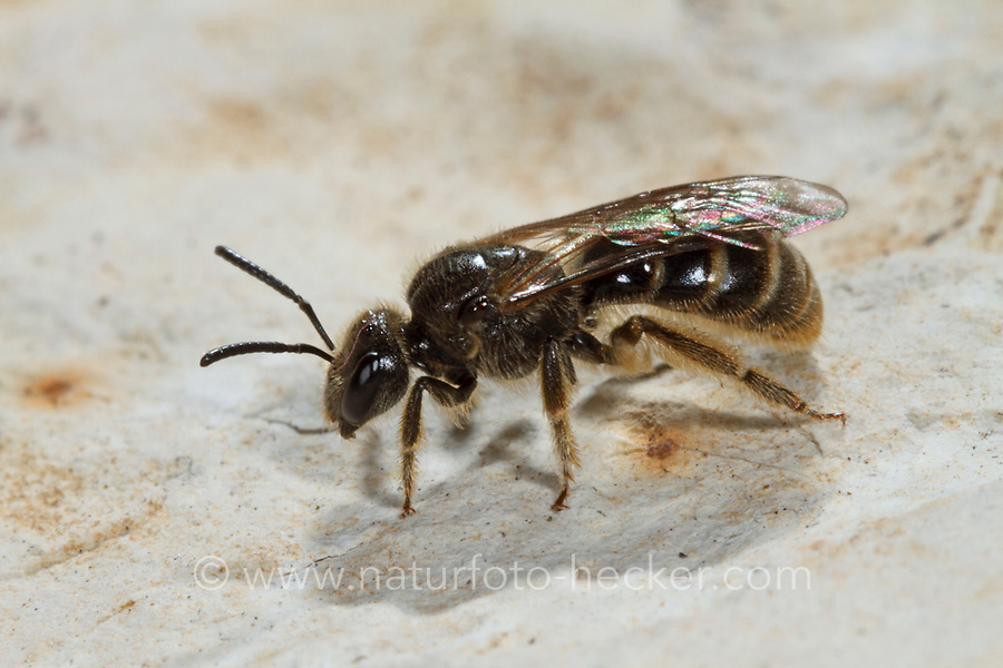 Fransen-Schmalbiene, Langlebige Schmalbiene, Schmalbiene, Schmalbienen, Furchenbiene, Furchenbienen, Lasioglossum marginatum, Furrow Bee, Furrow Bees