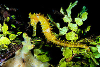 Thorny seahorse, Hippocampus histrix, at Dauin beach, Dumaguette, Philippines